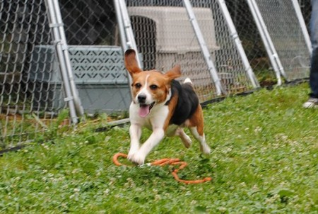 Rex the Beagle Learns to Run