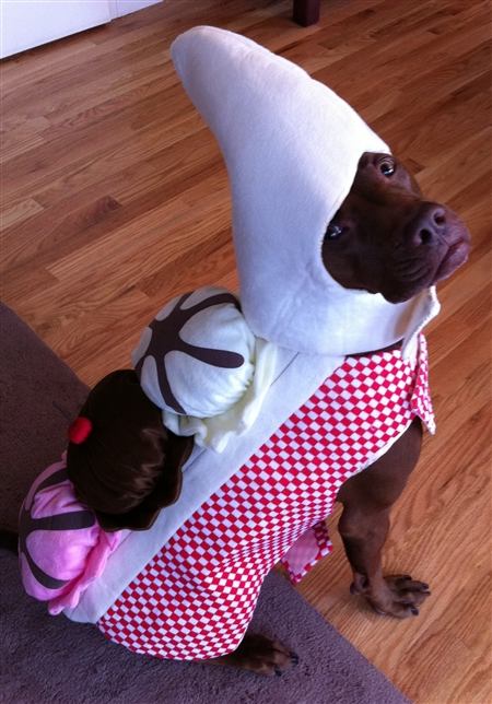 Roxy in Halloween Dog Banana Split Costume