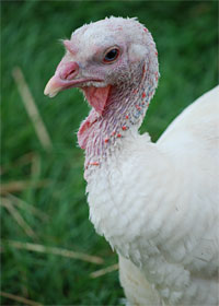Adopt Turkey Kima