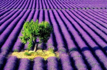 Have you ever seen so many lavender plants? (Photo by Julie Ponder)