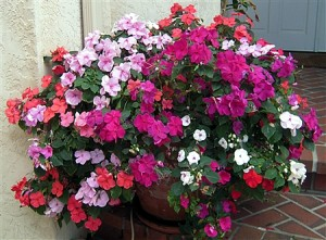 Happy Impatiens on my front porch.