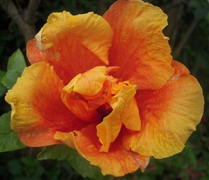 My first happy Orange Hibiscus of the year starting to open.