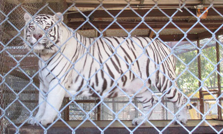 In-Sync Exotics White Tiger